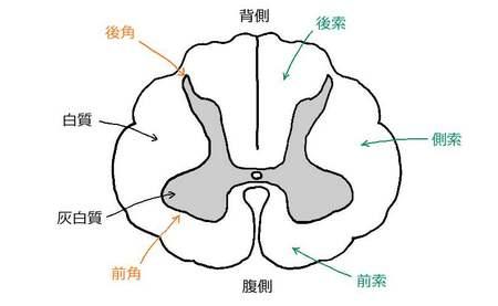 脊髄横断図.jpg